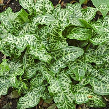 Арум Italicum Marmoratum фото цена
