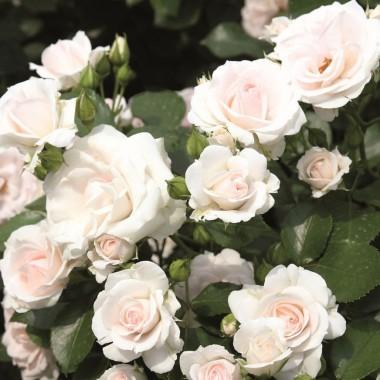 Роза Aspirin Rose фото цена