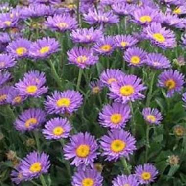 Астра Alpinus Violet фото цена