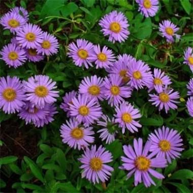 Астра Alpinus Violet купить онлайн