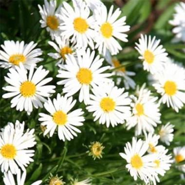 Астра Alpinus White фото цена