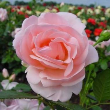 Роза Astrid Lindgren почтой