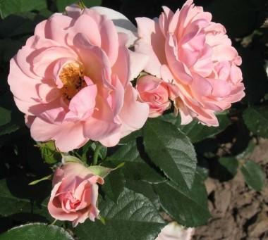 Роза Astrid Lindgren купить онлайн