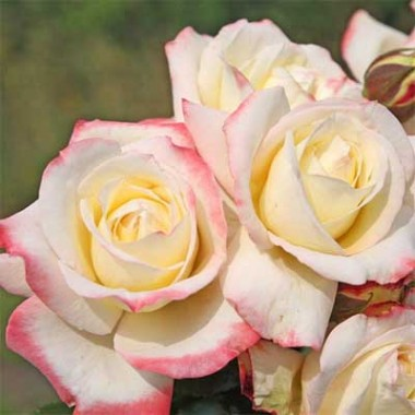 Роза Athena фото цена
