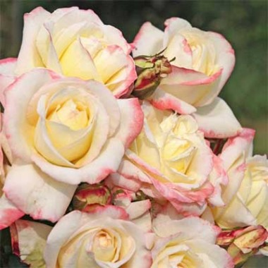 Роза Athena купить онлайн