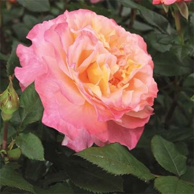 Роза Augusta Luise смотреть