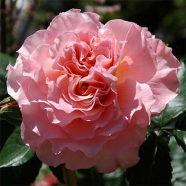 Роза Augusta Luise почтой