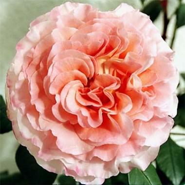 Роза Augusta Luise купить онлайн