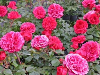 Роза Leonardo da Vinci смотреть