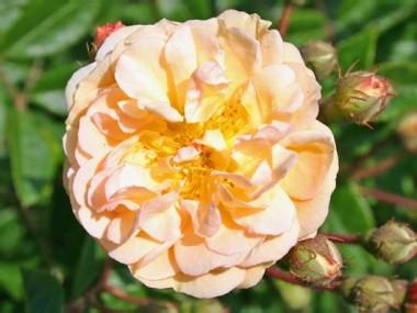 Роза Ghislaine de Feligonde фото цена