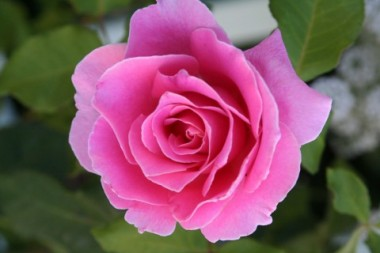 Роза Pink Ocean интернет-магазин