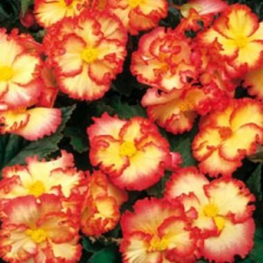 Бегония Crispa Marginata жёлто-красная фото цена