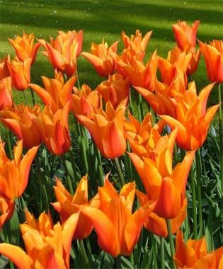 Лилеоподобные тюльпаны