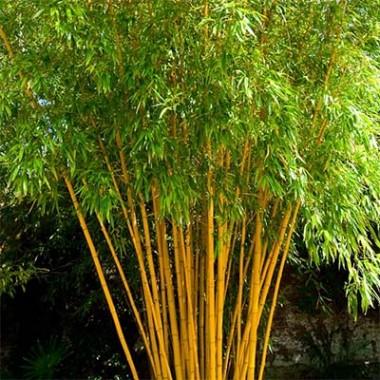 Бамбук купить
