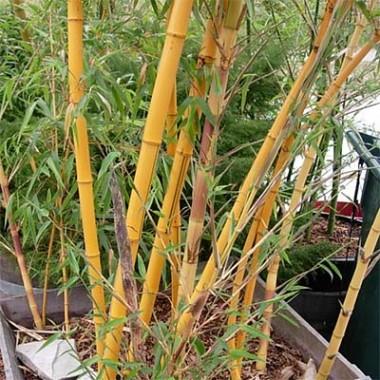 Бамбук Aureocaulis фото цена