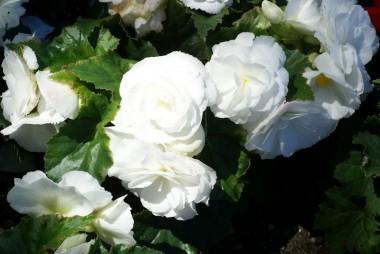 Бегония Multiflora Maxima белая купить онлайн