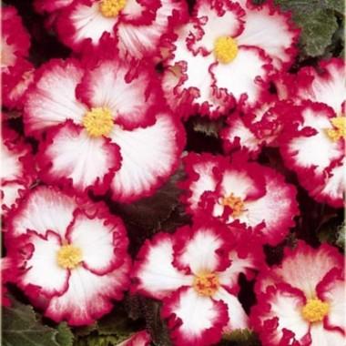 Бегония Crispa Marginata white-rose описание