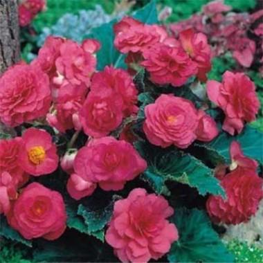Бегония Multiflora Maxima розовая смотреть