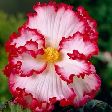 Бегония Crispa Marginata бело-красная описание