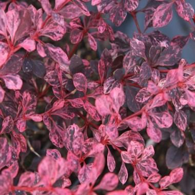 Барбарис Pink Queen описание