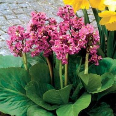 Бергения Cordifolia Rose купить онлайн