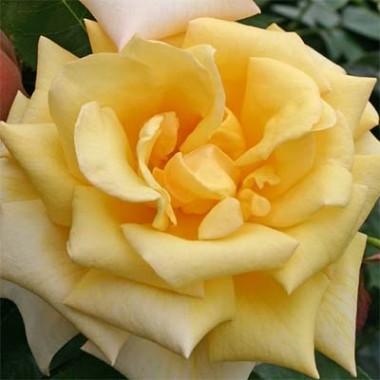 Роза Berolina описание
