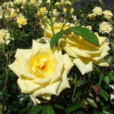 Роза Berolina почтой
