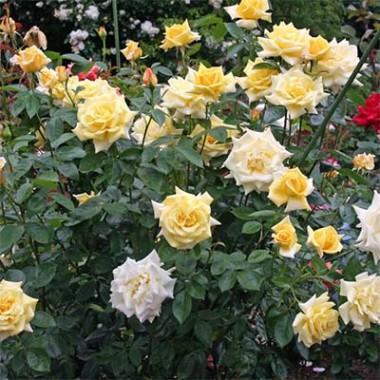 Роза Berolina смотреть