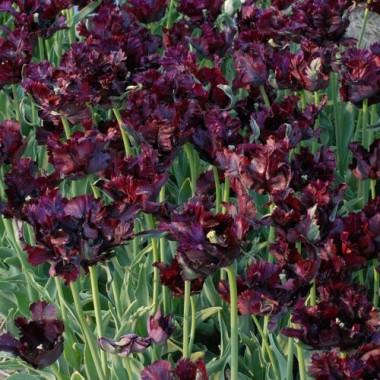 Тюльпан Black Parrot купить онлайн