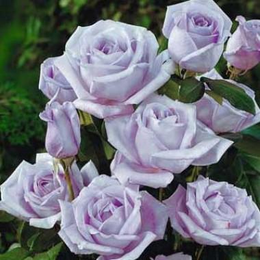 Роза Climbing Blue Moon смотреть