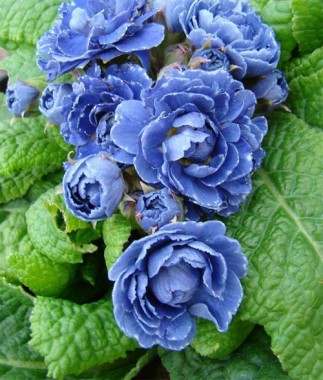 Примула Blue Sapphire купить онлайн