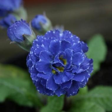 Примула Blue Sapphire фото цена