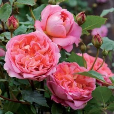 Роза Boscobel описание