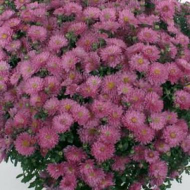 Хризантема Braque Pink фото цена