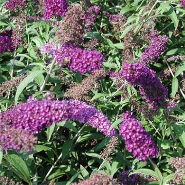 Буддлея Nanho Purple фото цена