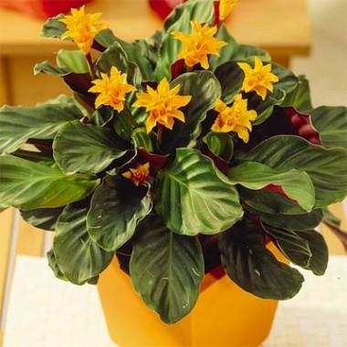 Цветущие комнатные растения купить