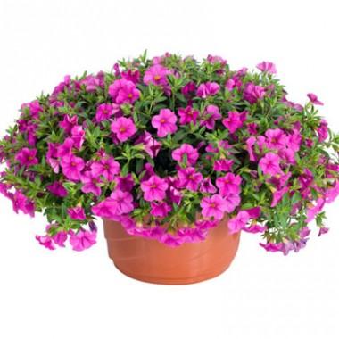 Калибрахоа Lindura Pink купить онлайн