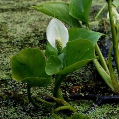 Белокрыльник болотный фото