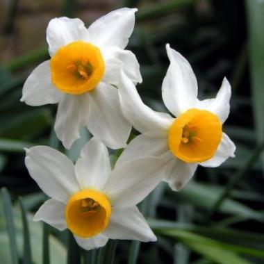 Нарцисс Canaliculatus описание