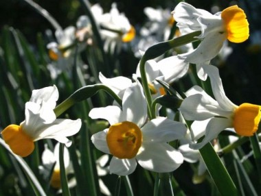 Нарцисс Canaliculatus почтой