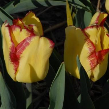 Тюльпан Cape Town в киеве