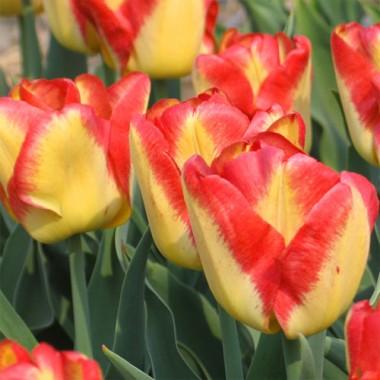 Тюльпан Cape Town фото цена