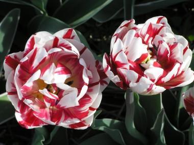 Тюльпан Carnaval de Nice фото цена