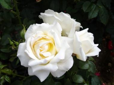 Роза Caroline Victoria  купить онлайн