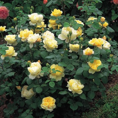 Роза Charles Darwin фото цена