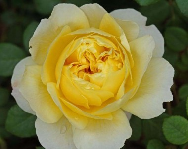 Роза Charles Darwin описание