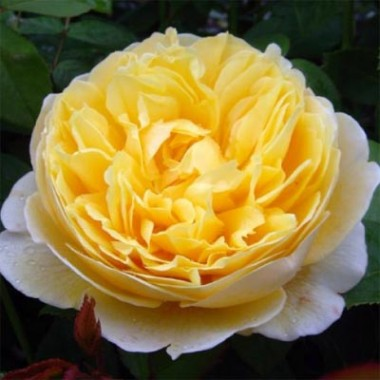 Роза Charlotte купить онлайн