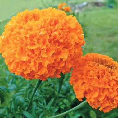 Бархатцы Купидон, оранжевые описание
