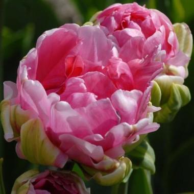 Тюльпан Christo в киеве