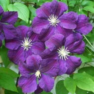 Клематис Etoile Violette фото